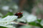 Red, black, and white butterfly in New Guinea [west-papua_6400]