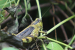 Yellow and brown grasshopper