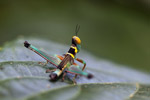 Black, turquoise, yellow, orange, brown, and pink grasshopper [west-papua_6450]