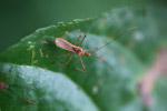 Orange assassin bug [west-papua_6456]
