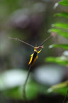Yellow grasshopper [west-papua_6464]