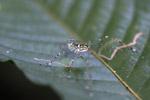Multicolored katydid [west-papua_6469]