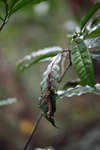 Spiny leaf insect [west-papua_6485]