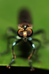 Fly with orange eyes and blue and black legs [west-papua_6500]