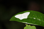 White moth [west-papua_6502]