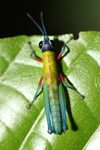 Grasshopper with a green body, blue antennae, turquoise hind legs, red front legs, and a black head