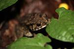 Giant Bufo melanostictus toad (invasive in New Guinea) [west-papua_6519]