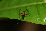 Red and green katydid [west-papua_6521]