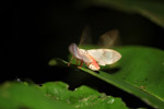 White moth with magenta legs [west-papua_6529]