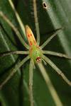 Green spider with orange markings [west-papua_6544]