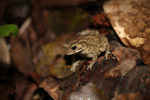 Toad [west-papua_6562]