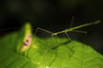 Green walking stick [west-papua_6564]