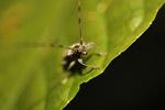 Longhorn beetle [west-papua_6566]
