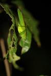Green katydid [west-papua_6577]