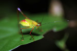 Red and green katydid