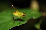 Red and green katydid [west-papua_6579]