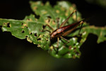 Brown katydid