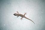 House gecko (Hemidactylus frenatus) in New Guinea