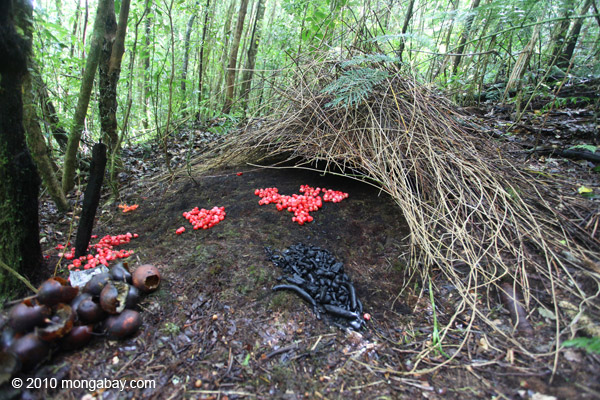 A week of Papua: bowerbird bower