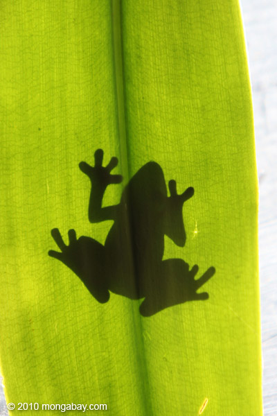 Frog shadow seen through a sunlit leaf in New Guinea