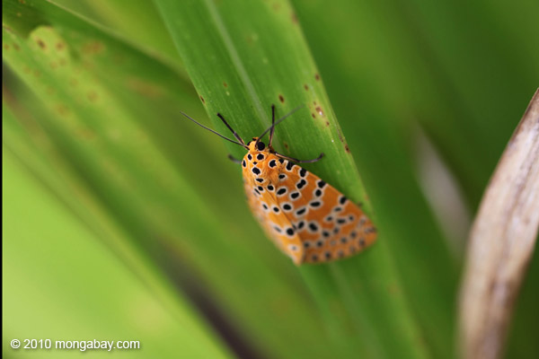 An orange moth with black and yellow polkadots in West Papua. Photo: Rhett A. Butler