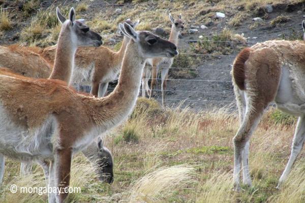Guanaco in Patagoniawildlife,guanaco,mammals,patagonia,torres del paine national park,chile