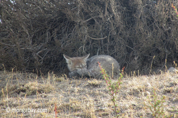 Argentine Grey Fox in Torres del Paine National Parkwildlife,foxes,canines,grey fox,carnivores,mammals,torres del paine national park,chile