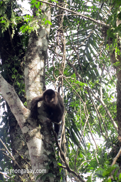 Black capuchin monkey in Iguazu Falls NPwildlife,mammals,primates,monkeys,capuchin monkeys,argentina