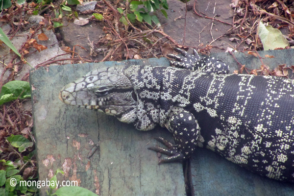 Black and White Tegu (Tupinambis merianae) at Iguazuwildlife,herps,reptiles,lizards,tegus,black and white tegu,argentina