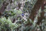 Hooded mountain-tanager (Buthraupis montana) [manu_0019]