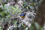 Hooded mountain-tanager (Buthraupis montana) [manu_0026]