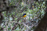 Hooded mountain-tanager (Buthraupis montana) [manu_0028]