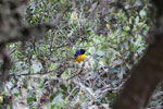 Hooded mountain-tanager (Buthraupis montana) [manu_0032]