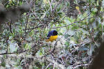 Hooded mountain-tanager (Buthraupis montana) [manu_0034]