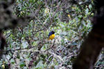 Hooded mountain-tanager (Buthraupis montana) [manu_0040]
