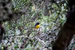 Hooded mountain-tanager (Buthraupis montana) [manu_0040]