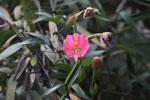 Pink passion flower (Passflora) [manu_0051]