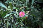 Pink passion flower (Passflora) [manu_0053]