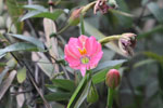 Pink passion flower (Passflora) [manu_0054]
