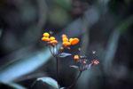 Orange 'mushroom' flowers