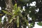Bromeliad [manu_0092]