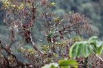 Blue-banded Toucanet (Aulacorhynchus coeruleicinctis) [manu_0100]