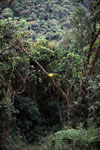 Green bromeliads in Manu cloud forest