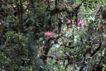 Pink bromeliads in Manu cloud forest