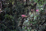 Pink bromeliads in Manu cloud forest [manu_0152]