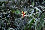 Bird of paradise in Peru [manu_0154]