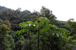 Cecropia in the Peruvian cloud forest [manu_0160]