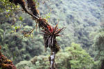 Racinaea, a tillandsia-type bromeliad common above 1500 m in the Manu cloud forest