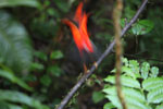 Male cock-of-the rock performing in the Manu cloud forest
