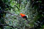 Male Andean Cock-of-the-rock (Rupicola peruvianus) [manu_0271]